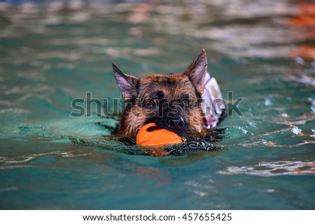 German shepherd dog wear life jacket play in swimming pool, dog swimming, happy dog, dog activity, guard dog - stock photo