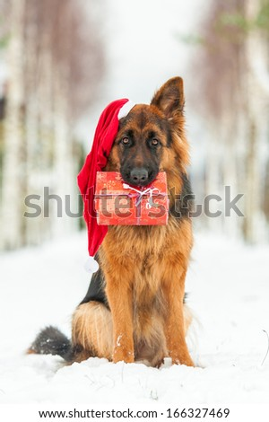 German shepherd dog wearing christmas hat and holding a gift in his mouth - stock photo