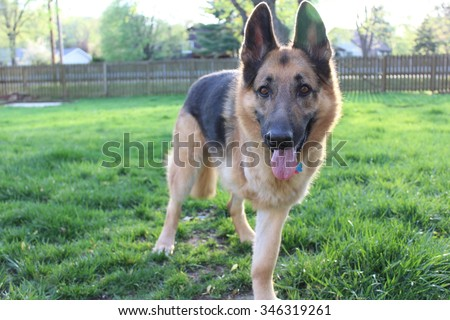 German shepherd dog with amputation