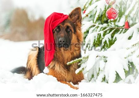 German shepherd dog with christmas hat lying near the christmas tree - stock photo