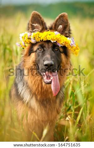 German shepherd dog with flower wreath  - stock photo