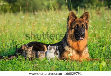 German shepherd dog with little kittens - stock photo