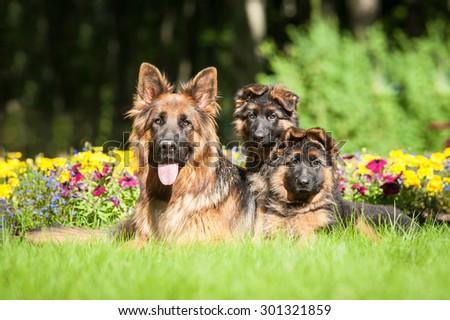 German shepherd dog with little puppies - stock photo