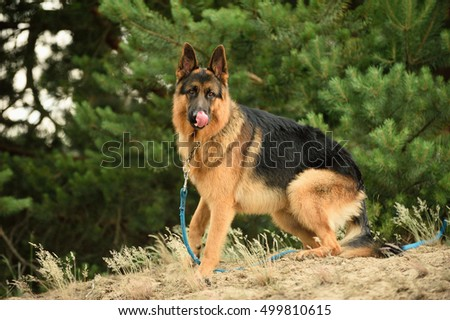 German Shepherd Dog with neck and leash is waiting insecure