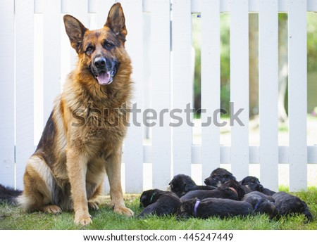 German shepherd dog with puppies outside next fence - stock photo