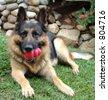 German Shepherd Dog with toy - stock photo
