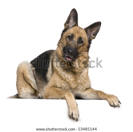 German Shepherd dog, 4 years old, in front of white background - stock photo