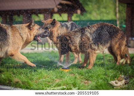 German Shepherd. Dogs playing with water