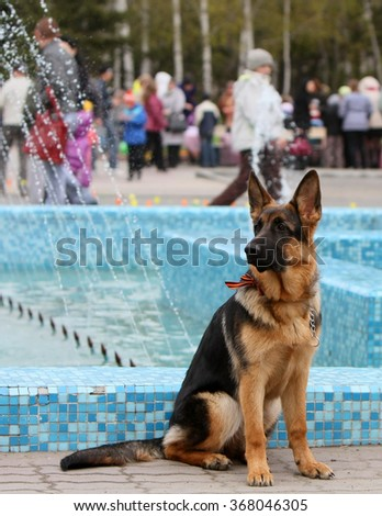 German Shepherd from the St. George's ribbon  - stock photo