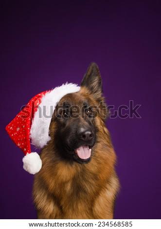 German Shepherd in a Christmas hat. Purple background - stock photo