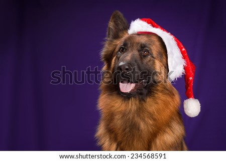 German Shepherd in a Christmas hat. Purple background - stock photo