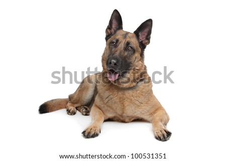 German Shepherd in front of a white background - stock photo