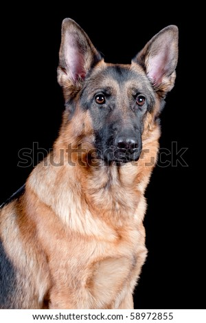 German Shepherd in front (portrait), isolated on black background, studio shot. - stock photo