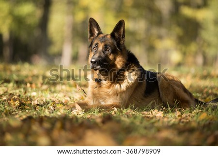 German shepherd in the autumn Park - stock photo