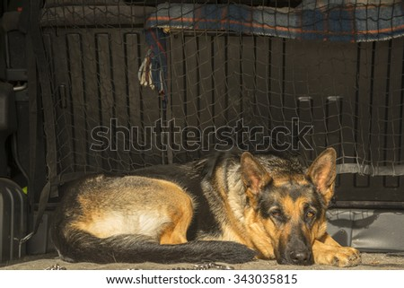 German shepherd in the car - stock photo