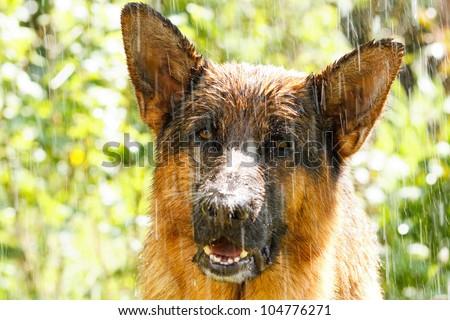 German shepherd in the rain - stock photo