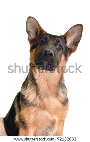 German Shepherd isolated on white background, studio shot. - stock photo