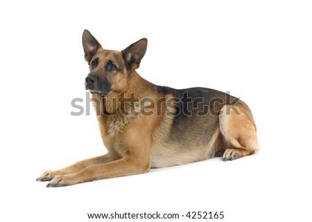 German Shepherd laying down - stock photo