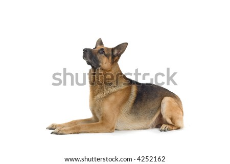 German Shepherd laying down and looking up - stock photo