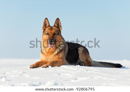 German shepherd laying on the snow - stock photo