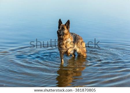 german shepherd, man's best friend, favorite, pet, guard dog, sheep dog for a walk - stock photo