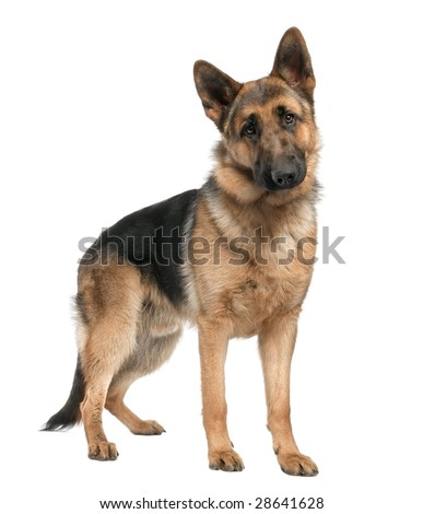 german shepherd (8 months) in front of a white background - stock photo