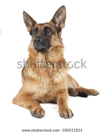 German shepherd on a white background  - stock photo