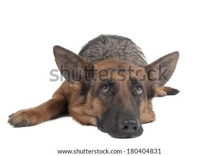 German shepherd on a white background in studio - stock photo