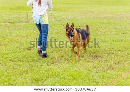German Shepherd on grass floor with woman trainer, dog in the park, german shepherd profile - stock photo