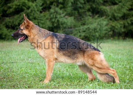 German shepherd on the green grass in the park - stock photo
