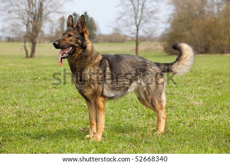 German shepherd on the green grass in the sping park - stock photo