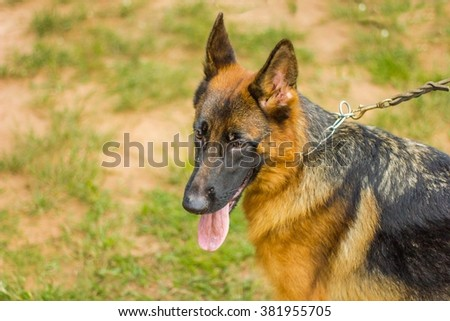 German Shepherd or Alsatian with leashes on grass floor, dog in the park, german shepherd close up. - stock photo