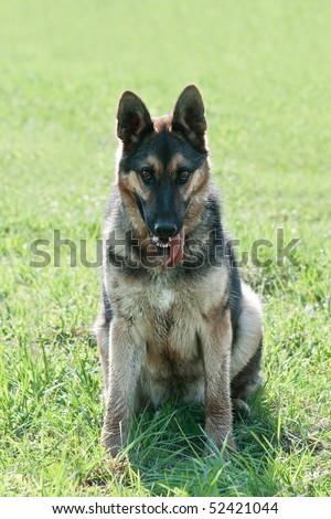 German shepherd portrait close up