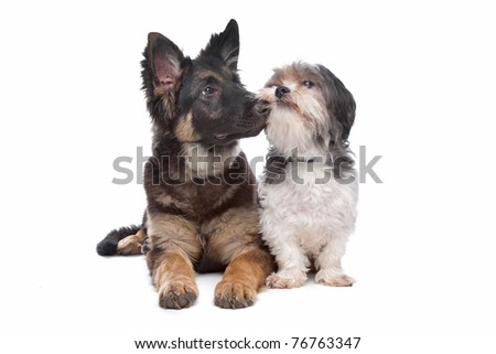 German Shepherd puppy and a boomer mixed breed dog in front of a white background - stock photo