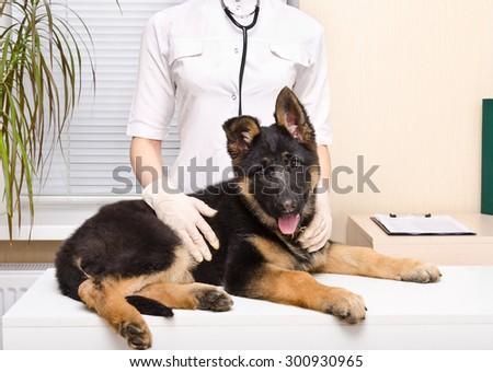 German shepherd puppy at the vet - stock photo