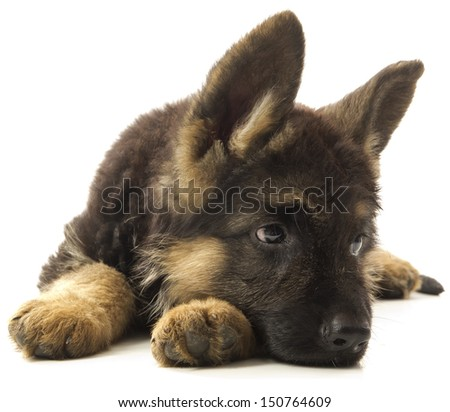 German shepherd puppy dog - stock photo