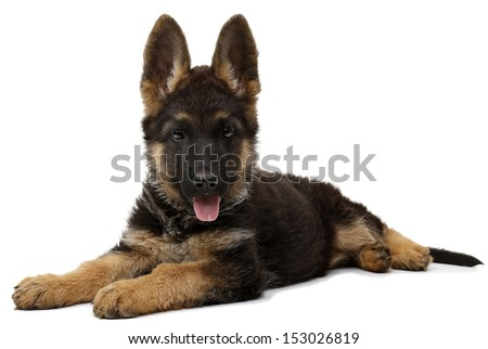 German shepherd puppy dog - stock photo