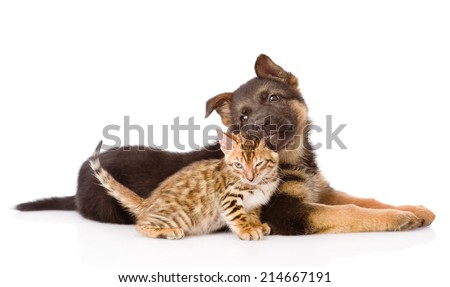 german shepherd puppy dog biting bengal cat. isolated on white background - stock photo