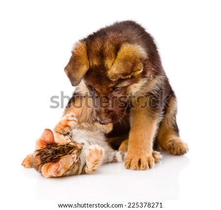 german shepherd puppy dog playing with little bengal cat. isolated on white background - stock photo