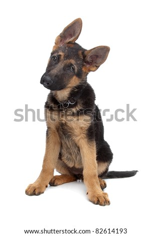 German Shepherd puppy in front of a white background - stock photo