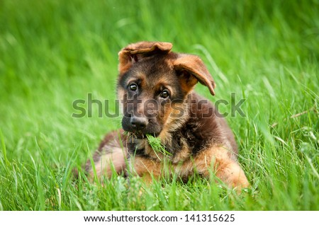 German shepherd puppy in the grass - stock photo