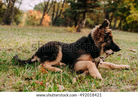 German Shepherd puppy in the park