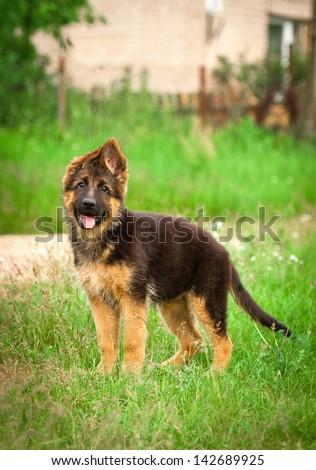 German shepherd puppy in the yard - stock photo