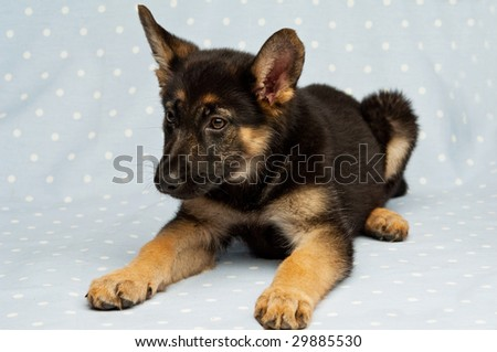 German Shepherd puppy isolated on a blue background
