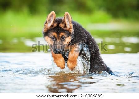 German shepherd puppy jumping in water - stock photo