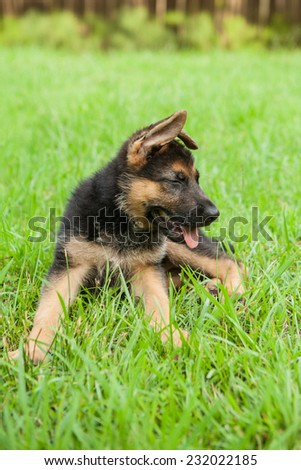 German Shepherd puppy laughs in the grass - stock photo