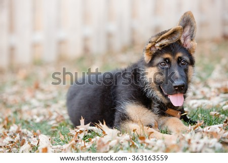 German Shepherd Puppy Laying Down - This is an image of an adorable German Shepherd puppy laying down in the leaves on a cool fall day. - stock photo