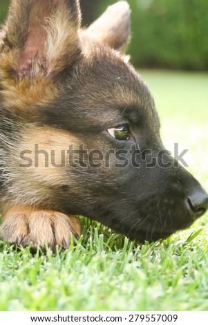 German shepherd puppy looking up - stock photo