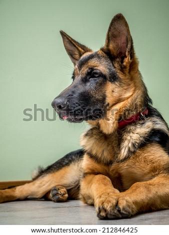 German Shepherd puppy lying down on the floor - stock photo
