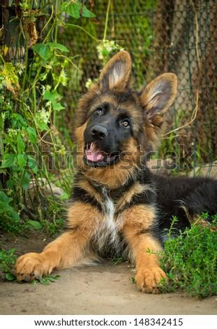 German shepherd puppy lying in the yard - stock photo